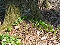Maianthemum bifolium 2018-04-20 9162.jpg