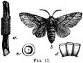 Malacosoma disstria-moth.png