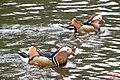 Mandarin pair (13956881526).jpg