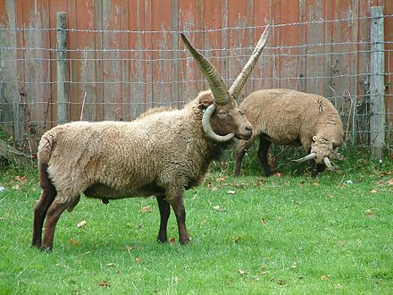 Manx Loaghtan sheep are bred on the island for their meat. Manx loaghtan.jpg