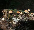 Marasmius cf. berteroi - Flickr - Dick Culbert.jpg