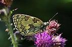 Marbled white butterfly (Melanargia galathea) female underside 2.jpg