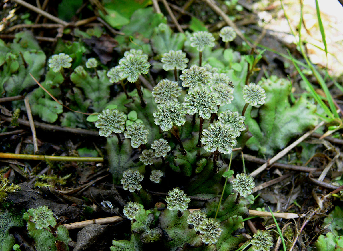 Bryophytes asexual reproduction in bacteria