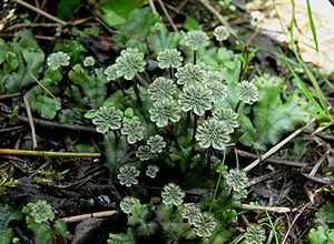 Bryophyte - Marchantia, an example of a liverwort.