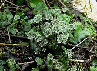 Bryophyte Terrestrial plants that lack vascular tissue