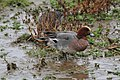 Mareca penelope -Rutland Water, Rutland, England -male-8.jpg