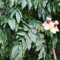 Markhamia stipulata.jpg