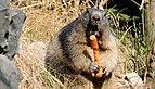 Marmotte DSCF5679.jpg