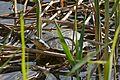 Marsh Terrapin (Pelomedusa subrufa) (32805156065).jpg