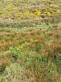 Marsh marigolds and gorse by coastal path - geograph.org.uk - 412203.jpg