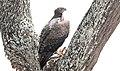 Martial Eagle (Polemaetus bellicosus) (46549231181).jpg