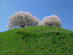 Maruhakayama Tumulus And Cherry trees.jpg