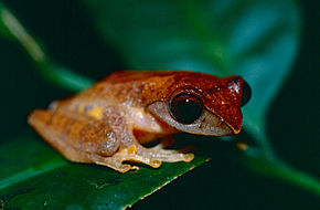 Description de l'image Masked Tree Frog (Rhacophorus angulirostris) (14497889899).jpg.