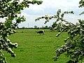 May Blossom - geograph.org.uk - 174910.jpg