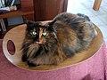 Maya the tortoise cat.jpg