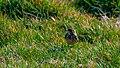 Meadow Pipit, Aberdeen, Scotland (49765195852).jpg