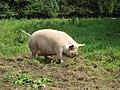Meanwood Farm Pig.jpg