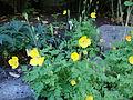 Meconopsis cambrica - Welsh poppy, Keltavaleunikko, Engelsk bergvallmo C DSC07848.JPG