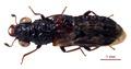 Megalopinus caelatus 0157226 dorsal.tif