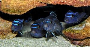 Mbuna - Melanochromis cyaneorhabdos displaying behaviour typical of mbuna