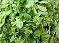 Mentha arvensis (Leaves).JPG