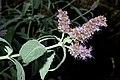 Mentha longifolia 01 by-dpc.jpg