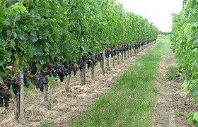 Vignoble De Bordeaux Wikip 233 Dia