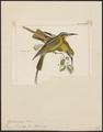 Merops savignyi - 1820-1863 - Print - Iconographia Zoologica - Special Collections University of Amsterdam - UBA01 IZ16800321.tif