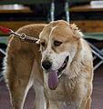 Miezynarodowa wystawa psow rasowych katowice 2012.jpg