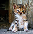 Mihail Manolov - Little Kitten (by-sa).jpg