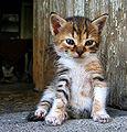 Mihail Manolov - Little Kitten (by-sa).jpg