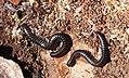 Millipedes. White-legged Snake Millipede - Tachypodoiulus niger ?? (33077972353).jpg