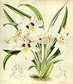 Miltoniopsis roezlii (as Odontoglossum roezlii) - Curtis' 100 (Ser. 3 no. 30) pl. 6085 (1874).jpg