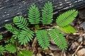 Mimosa quadrivalvis leaves.jpg