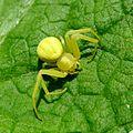 Misumena vatia . Female. Thomisidae. Crab Spider - Flickr - gailhampshire.jpg
