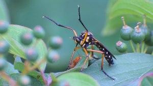 File:Molobratia teutonus - 2014-06-18 (06).webm
