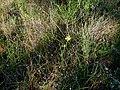 Moraea lewisiae subsp.lewisiae (8).jpg