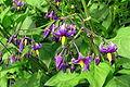 Morelle douce-amere (Solanum dulcamara) (2543000478).jpg