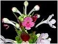 Morina Longifolia (15619300170).jpg