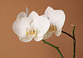 Moth Orchid cultivated.jpg