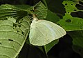 Mottled Emigrant Catopsilia pyranthe by Dr. Raju Kasambe DSCN1987 (2).jpg
