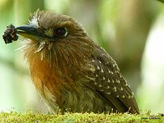 240px moustached puffbird (malacoptila mystacalis)