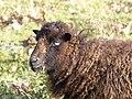 Moutons d'Ouessant à Comper (Concoret) 02.jpg