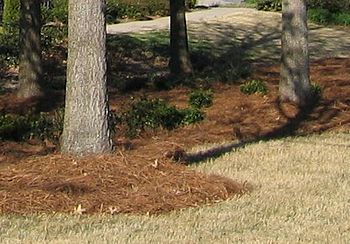 "Pine needles used as mulch. Also called ""..."