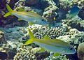 Mulloidichthys vanicolensis Maldives.JPG