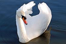 Mute Swan at Fleet Pond.jpg