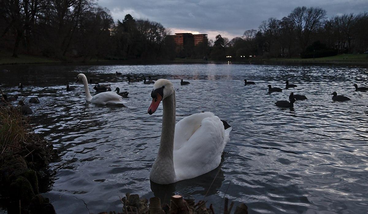 File:Mute swan on étang Tenreuken during evening civil twilight ...