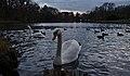 Mute swan on étang Tenreuken during evening civil twilight (Auderghem, Belgium, DSCF2704).jpg