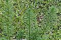 Myriophyllum alterniflorum 9036.jpg
