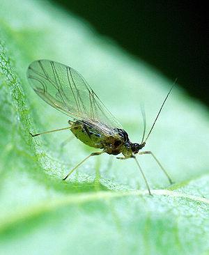 Myzus persicae - Image: Myzus persicae